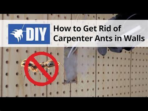 rid  carpenter ants  walls youtube