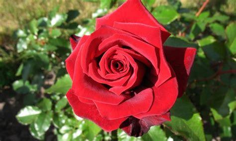 Como Plantar Rosales En Tu Jardín  El Blog De Los Mejores