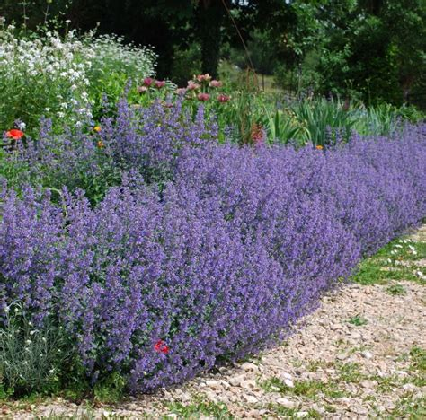 buy catmint plants buy nepeta six hills giant delivery by plantstoplant com