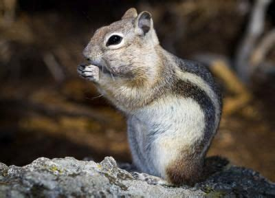 chipmunk repellent homemade chipmunk repellent soaps homemade and just go