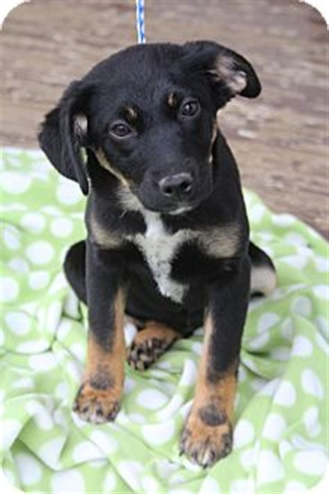 quot miniature pinscher australian shepherd mix quot search australian shepherd dogs mixes