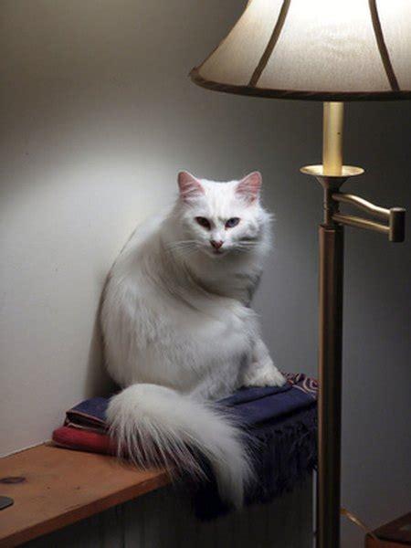 differences  angora persian cats pets