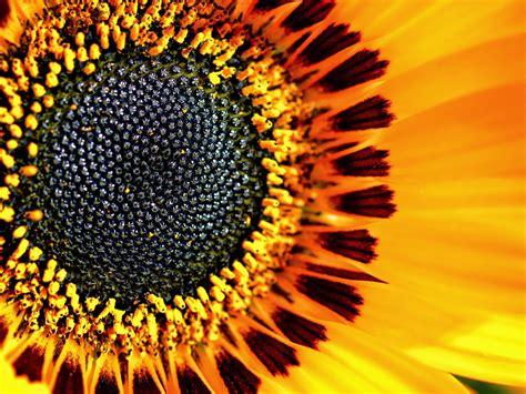 filling  frame   sunflower