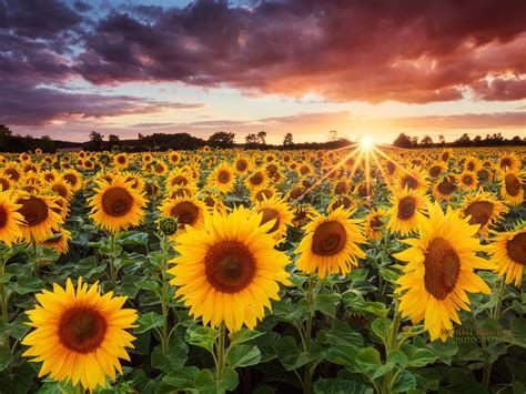 sunflowers   sunset wallpaper preview wallpapercom