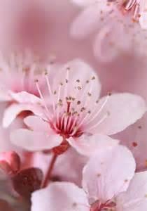 Japanese Plum Tree Blossoms
