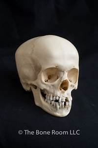Human Fetal Skulls for Sale - The Bone Room