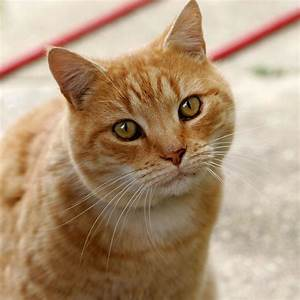cat - Wiktionary  Domestic