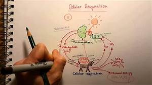 Redox Reaction In Cellular Respiration