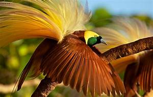 Greater Bird Of Paradise YouTube
