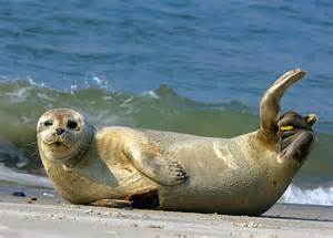 cape cod plans cape cod may cull gray seals due to overpopulation but is
