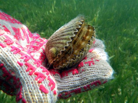 places   scalloping  florida tripstodiscover