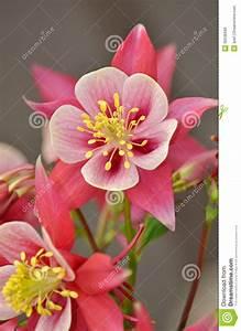 Fleur Rose Et Blanche : fleur colombine de rose et blanche images libres de droits image 30536699 ~ Dallasstarsshop.com Idées de Décoration