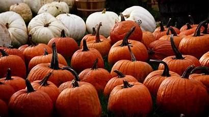 Pumpkin Harvest Desktop Pumpkins Wallpapers Backgrounds Autumn