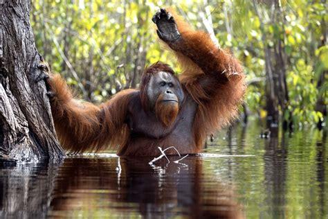 hilarious snaps show adorable orangutan cleaning