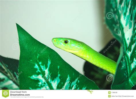 african green african green mamba snake stock photo image 1788190