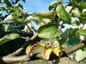 Himbeeren Krankheiten Bilder : apfelbaum krankheiten apfelbaum was hat er garten ~ Lizthompson.info Haus und Dekorationen