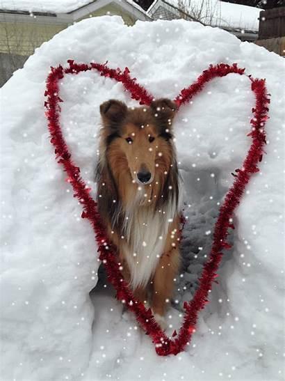 Snow Snowy Collie Things Winner Valentine Collies