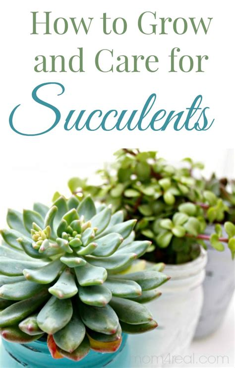 how to care for plant how to grow and care for succulents mom 4 real