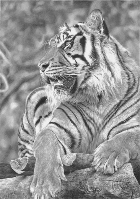 cool tiger drawings  inspiration hative