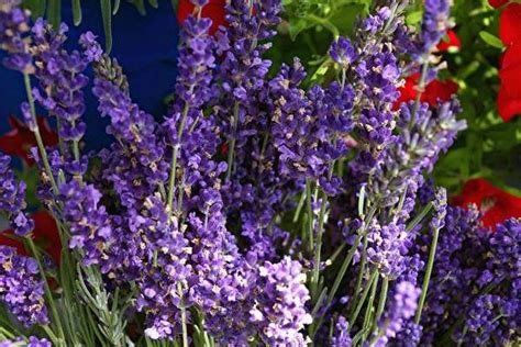 does lavender grow in florida with these tips anyone can grow lavender csmonitor com