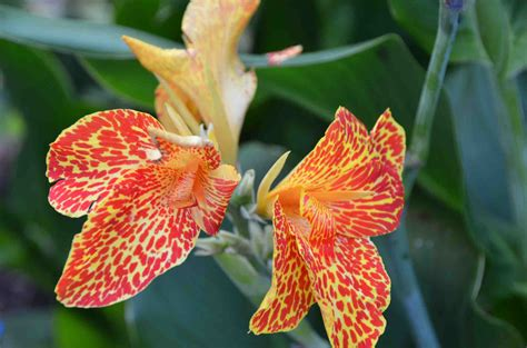 A Canna That Blooms Indoors? Why Not?  Laidback Gardener