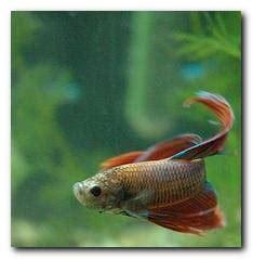 reproduction des poissons en aquarium