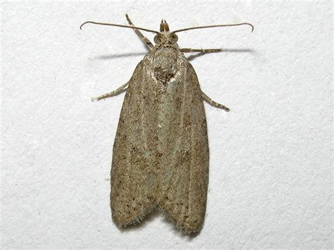 https://www.norfolkmoths.co.uk/micros.php?bf=10220