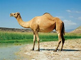 Do Camels Store Water in Their Humps? | Britannica.com