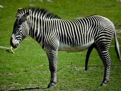 Zebra Animal Wallpup