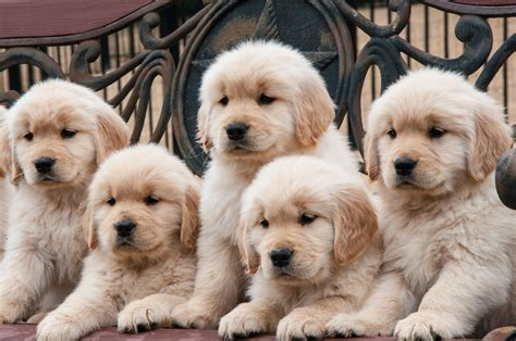 Where To Find A Golden Golden Retriever Club Of America