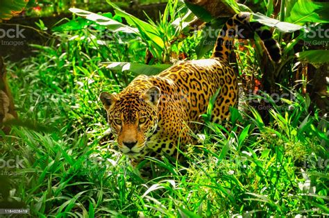 jaguar jungle rainforest ecuador brazil region animal