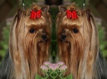 yorkshire terrier zwinger kennel vom haus english cream