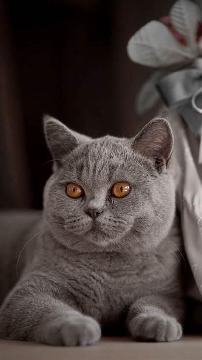 British Shorthair Iphone Kitty Cat Cats Domestic