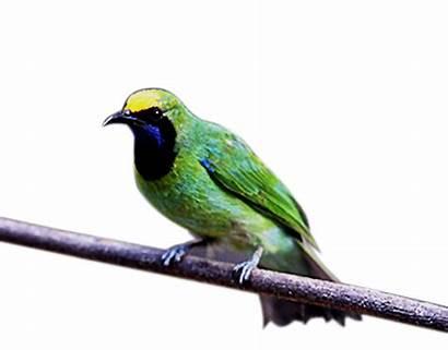 Burung Cucak Ijo Gambar Suara Kuning Kepala