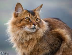 somali cats somali cat usual somali cat snarf beattie flickr