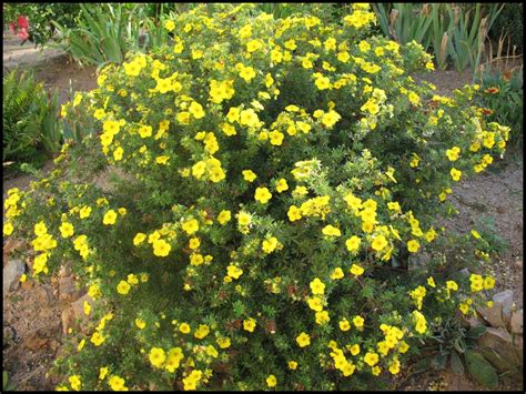 GOLD DROP POTENTILLA - Hinsdale Nurseries