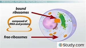 The Ribosome  Structure  Function And Location