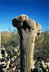 File Crested Saguaro Cactus Jpg