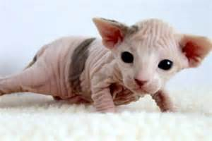 baby hairless cats hairless kittens baby animalz