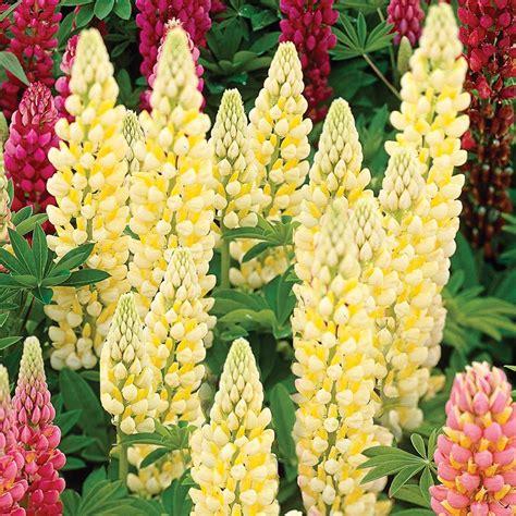 lupin chandelier lupinus chandelier white flower farm