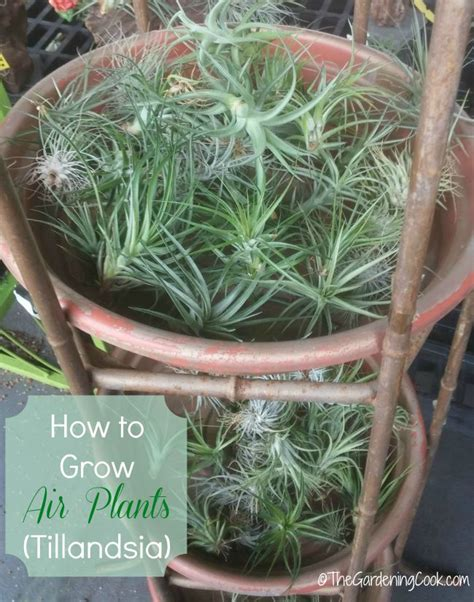 air growing plants tips for growing air plants how to care for tillandsia