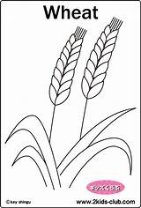 Coloring Plant Wheat P15 sketch template
