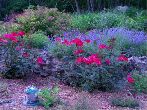 outdoor plants knockout roses and lavender this vibrant