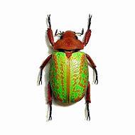 Real Scarab Beetle