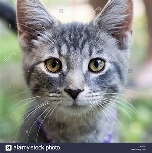 In Your Face Kitten. A grey and white kitten with green ...