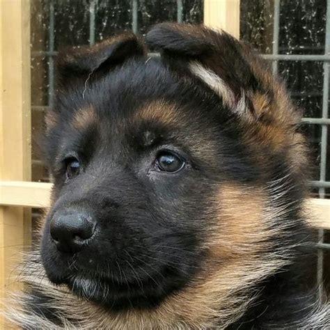 Deutscher Schäferhund Welpen Züchter