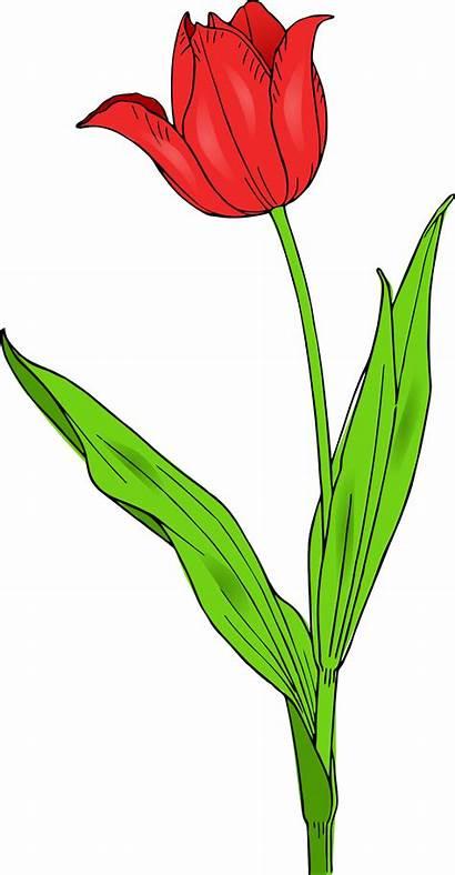 Tulip Clipart Blossom Flower Clip Clipground
