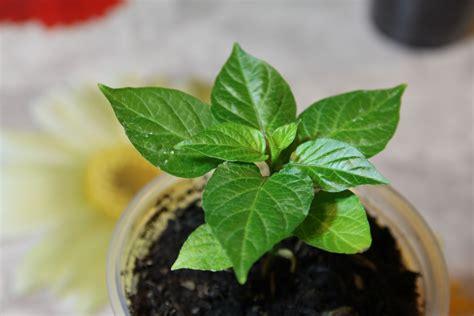 coltivare peperoncino in vaso come coltivare peperoncini peperoncinipiccanti