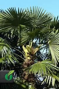 Phoenix Canariensis Pflege : phoenix canariensis kanarische dattelpalme tropical seeds ~ Lizthompson.info Haus und Dekorationen
