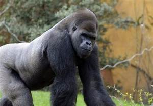 Nearly 3 000 Wild Great Apes  U0026 39 Stolen U0026 39  Each Year  Un Reports